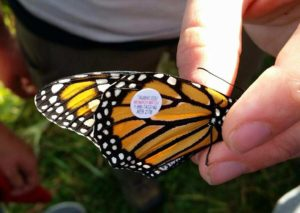 butterfly tagging activity